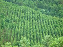 Chứng nhận quyền sở hữu rừng sản xuất là rừng trồng