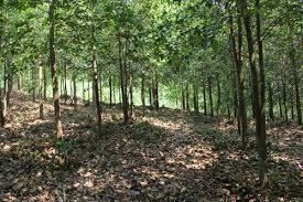 Hỏi về tội vi phạm quy định về quản lý rừng