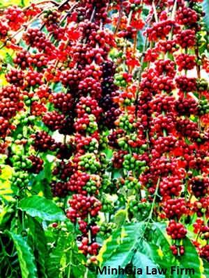 Cách phân loại và mức bồi thường thiệt hại cho cây cà phê