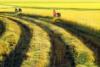 Quy định về dồn điền đổi thửa đất ruộng
