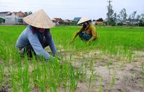 Muốn chuyển đổi mục đích sử dụng đất từ đất trồng lúa sang đất trồng chuối giải quyết như thế nào?