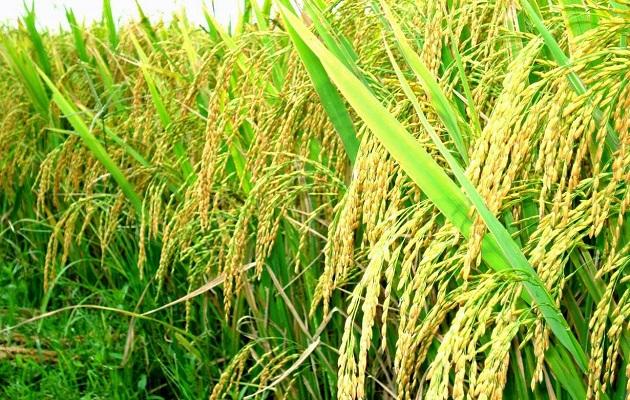 AI là người chịu trách nhiệm trong việc chậm làm thủ tục nhận tiền hỗ trợ cho người trồng lúa?